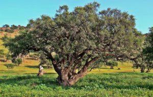 arbre d'argane : les femmes productrices sont devenues cueilleuses