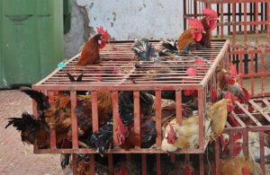 Poulets en cage - Le développement à l'envers