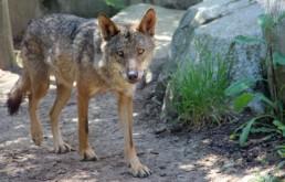 Un loup un vrai loup !
