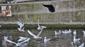 Les mouettes le corbeau les canards et les pigeons le corbeau tente de ravir le pain