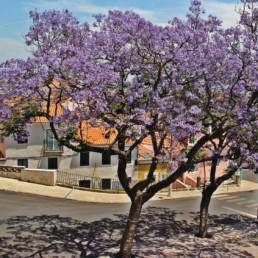 Lisbonne 2 - Les jacarandas
